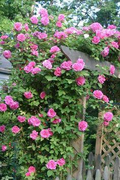 Heirloom Roses: Zephirine Drouhin
