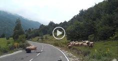La pecora brutalizza la povera pastorella: asfaltata in strada, furia cieca / Guarda il terribile video - Actionweb24.com
