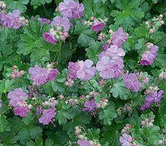 "Geranium x cantabrigiense Karmina - White Flower Farm 8""+ - mat-like"