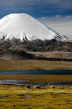 Vicuñas at Lago Chungara, Lauca National Park, Chile by Leonid Plotkin. The volcano in the background is Sajama. Volcanoes usually look so innocent. Places To Travel, Places To See, Places Around The World, Around The Worlds, Les Continents, Parc National, Beautiful Landscapes, Wonders Of The World, Into The Wild