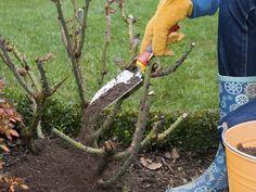 Rosen: Mulchschicht - anfangs Grasschnitt (vermischt mit Brennnesseln und Schachtelhalm) geeignet, da dann der Stickstoffanteil sehr hoch sein darf. Ab Juni klein geschnittene Farnblätter, Tagetes und Ringelblumen. Rindenmulch ungeeignet, da Boden sauer wird. Bio-Tipps für gesunde Rosen - Seite 2 - Mein schöner Garten