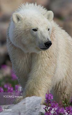 Polar Bear (Ursus maritimus) juvenile among fireweed, Hudson Bay, Canada Bay Canada, Hudson Bay, Polar Bear, Flower, Image, Bears, Animals, Polar Bears, Flowers