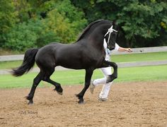 The newest approved KFPS Friesian stallion Date 477 (pronounced   Dah-tah)!!!!!!  Just announced on March 2, 2013!
