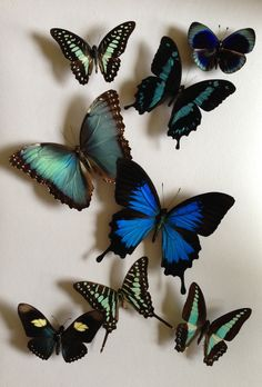 Ulysses and morpho butterfly Morpho Butterfly, Butterfly Frame, Butterfly Kisses, Blue Butterfly, Butterfly Wings, Beautiful Butterflies, Moth, Insects, Cute Animals