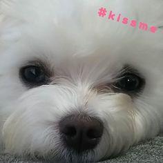 2016.11.28 ☀ * バトンが届きました☺ ・ #kissme バトン😚 ・ 『プティたん、チュッチュ~💗』って言うとペロペロしてくれます😍 ・ 何度もお願いするとプイっとされますが😅 たまんないです(*´˘`*)♡ ・ チュー顔、難しくて断念💧 * ココちゃんママさん💕(@maru.chi.co.3 ) リンクたんママさん💕(@linmama0318 ) ありがとうございます😊💓 * バトンはここに置いておきます🐾 * * #バトン #curepetcancer #maltese #dogstagram #instadog #cute #cutedog #whitedog #instaMaltese #insta_animal #malteselovers #adorable #maltesedog #todayswanko #malteseworld_feature #east_dog_japan #pecoいぬ部 #マルチーズ #ふわもこ部 #いぬら部 #かわいい #癒しワンコ #愛犬  #親ばか #大好き #宝物 #プティ  #귀여운