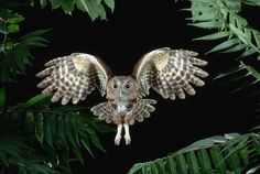 Eastern-Screech-Owl-Flying-Through-Trees-Joe-McDonald