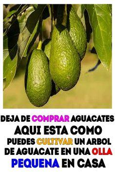 deja de comprar aguacates aqui esta como puedes cultivar un arbol de aguacate en una olla pequena en casa. #Salud #Saludable #Aguacates Avocado, Flower Pots, Bonsai, Rancho, Probar, Cactus, Cantaloupe, Food And Drink, Lime