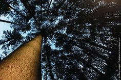 Upside view to the crown of  a common spruce, seen in a forest