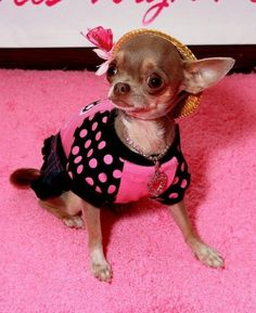 Effective Potty Training Chihuahua Consistency Is Key Ideas. Brilliant Potty Training Chihuahua Consistency Is Key Ideas. Chihuahua Clothes, Cute Chihuahua, Teacup Chihuahua, Puppy Clothes, Chihuahua Puppies, Cute Puppies, Cute Dogs, Chihuahuas, Baby Animals