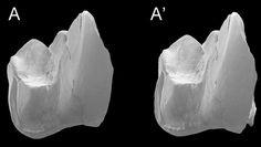 Whollydooleya tomnpatrichorum tooth image.