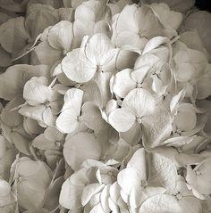 silent-musings: azultierra: White petals