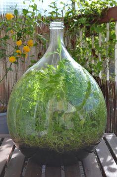 Dame Jeanne en verre avec plantation végétale de misère : Accessoires de maison par mariepotel