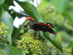 Late vlinder, atalanta