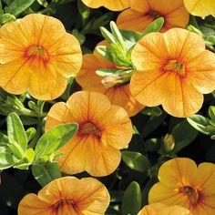 Calibrachoa MiniFamous™ Tangerine | From @Jonathan Park Seed