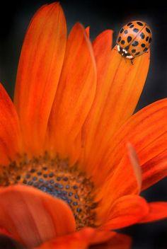 An orange ladybug on an orange flower!