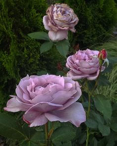"""Rose ' Novalis ' in my garden"