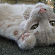"""Cats will always lie soft."" --Theocrites"