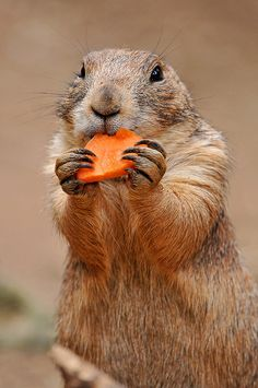 Carrots are healthy! by Tambako the Jaguar on Flickr.