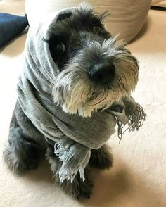 See this Instagram photo by @schnauzerworld • 5,165 likes More