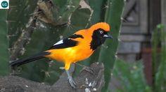 https://www.facebook.com/WonderBirdSpecies/ Orange-backed troupial (Icterus croconotus); South America; IUCN Red List of Threatened Species 3.1 : Least Concern (LC)(Loài ít quan tâm) || Vàng anh Troupial lưng cam; Nam Mỹ; HỌ HOÉT TÂN THẾ GIỚI - ICTERIDAE; Chi Vàng Anh Tân Thế Giới - Icterus (New World Orioles).