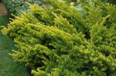 "Golden Japanese Yew (Taxus cuspidata) - ""Lush foliage all year long. Lush evergreen. Handsome winter or summer with its short, waxy needles and orange berries in late summer. reaches a mature 10- to 20-foot height. Slips to a neatly manicured 2--3 feet. Thrives in sun or shade. Zones 4--7."""