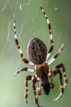 Arachnophobia Makes Spiders Look Bigger, Study Finds Mystical Animals, Nature Animals, Spider Species, Pet Spider, Beetle Bug, Creature Comforts, Escape Room, Beetles, Drawing Reference