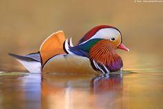 Graceful Mandarina Duck.