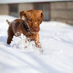 Photo by Brian Slawson Photography. First time in the snow for this pup! #vizsla #vizsladog #vizslalovers #HungarianVizsla #puppy #dog #dogportraits #velcrodogs #petphotos #cute