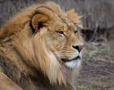 Big Cats, Lion, Photography, Printables, Painting, Animals, Beautiful, Inspiration, Art