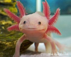 Leucistic axolotl. Oh my god these guys are so cute. And believe it or not easy to take care of. I am definently getting one of these soon.