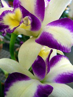 Purple & White Orchids