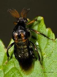 Ripiphorus sp.