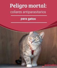 Peligro mortal: collares antiparasitarios para gatos Aunque a todos nos preocupa mantener a nuestro animales libres de problemas, te contamos por qué los collares anti-insectos para gatos son un peligro. #peligro #collar #gatos #salud