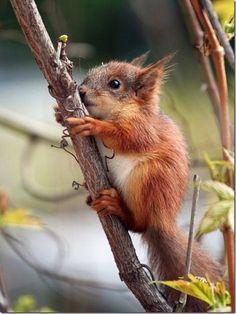 Baby Red Squirrel awwwwwwwwwwwwwwwwwwwwwwwwwwwwwwwwwww