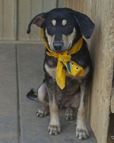 Meet Pebbles, an adopted Shepherd Mix Dog, from Oak Hill Animal Rescue Inc in Seagoville, TX on Petfinder. Learn more about Pebbles today. Best Dog Food, Best Dogs, Shepherd Mix Dog, Dog Pee, Best Dog Training, Happy Puppy, Pet Care Tips, Pet Search, Dog Stuff