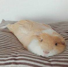 Melting guinea pig