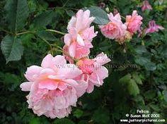 cornelia rose - Google Search