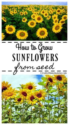 Easy tips for growing sunflowers from seed. Gardening Growing Sunflowers from Seed - Creative Homemaking Growing Sunflowers From Seed, Planting Sunflowers, Growing Flowers, Growing Plants, How To Grow Sunflowers, Planting Sunflower Seeds, Growing Seeds, Growing Sunflowers Outdoors, Planting Flowers From Seeds