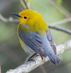Prothonotary Warbler (female): 26 April 2015, Huntley Meadows Park, Alexandria, VA, 5:00 p.m., 66 degrees, mostly sunny, calm