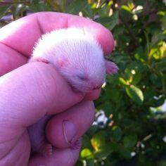 Teeny tiny ferret kit!!