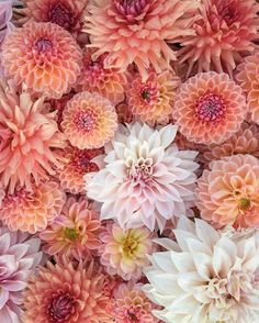 Flowers for u my love 🌹🥀🌺🌸🌷 Botanical Flowers, Flowers Nature, Fresh Flowers, Beautiful Flowers, Blooming Flowers, Growing Dahlias, Flower Farmer, Cut Flower Garden, Dahlia Flower