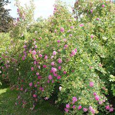 hurdalrose Lillehammer, Mandala, Plants, Plant, Mandalas, Planets
