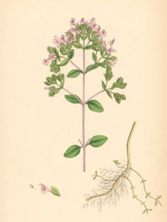 Marjoram is indigenous to Mediterranean countries and was known to the ancient Egyptians, Greeks and Romans. They cultivated it as a pot herb and used it not only to flavour food but also prized it as a miraculous herb with the power to heal practically all diseases, especially colds and chills. The Greeks felt it a symbol of happiness and that if grown on the grave, the deceased would be eternally happy.