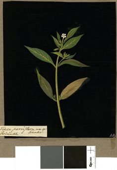 Vinca Parviflora, from an album (Vol.IX, 86); Solandri Periwinkle. 1778 Collage of coloured papers, with bodycolour and watercolour, and with leaf sample, on black ink background