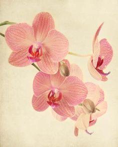 "Fine Art Botanical Print """"Pink Orchid No. 2"""""