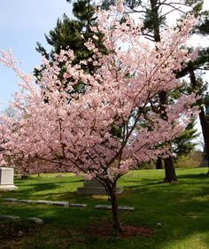 Flowering cherry. A beautiful shape and color.  The fruit bearing cherry trees are also beautiful in bloom and do well in Treasure Valley. Always check with your local educated nursery person for the best varieties to plant here.