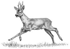 Výsledek obrázku pro roe deer drawing