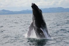An impressing humpback whale in Samana Bay, Dominican Republic.