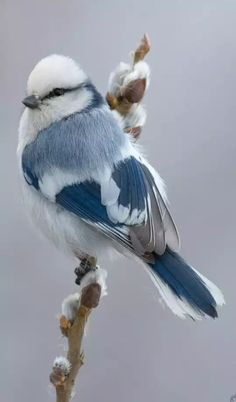 Jaiden is my personal blue bird 💙 White Blue Tit (Songbird) Parus Cyanus throughout Russia & Central Asia Pretty Birds, Beautiful Birds, Animals Beautiful, Beautiful Pictures, Nature Animals, Animals And Pets, Cute Animals, Funny Animals, Unique Animals