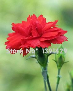 200 Dianthus Seeds , 24 kinds mixed packed, Sweet William flower